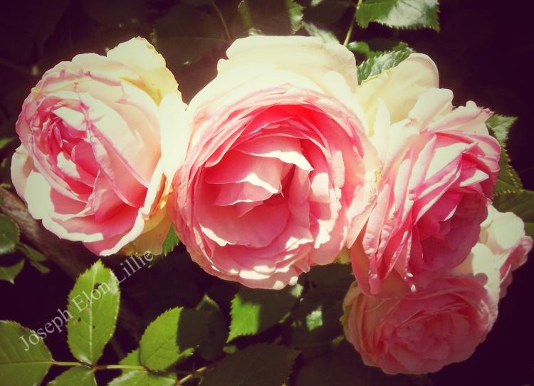 Longwood Roses