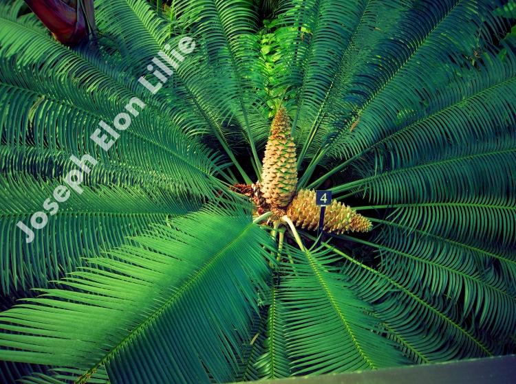 Pine Cone Palm