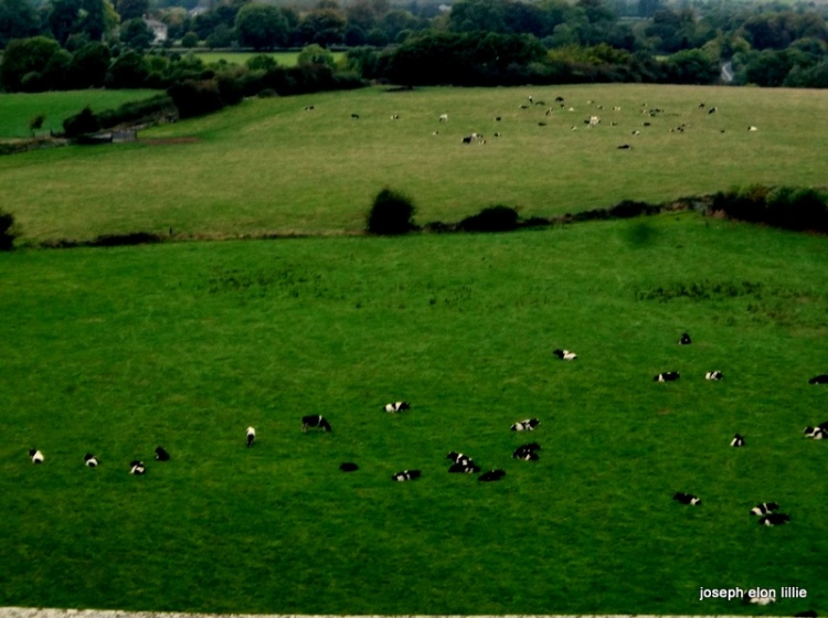 Fields of cows in Cashel