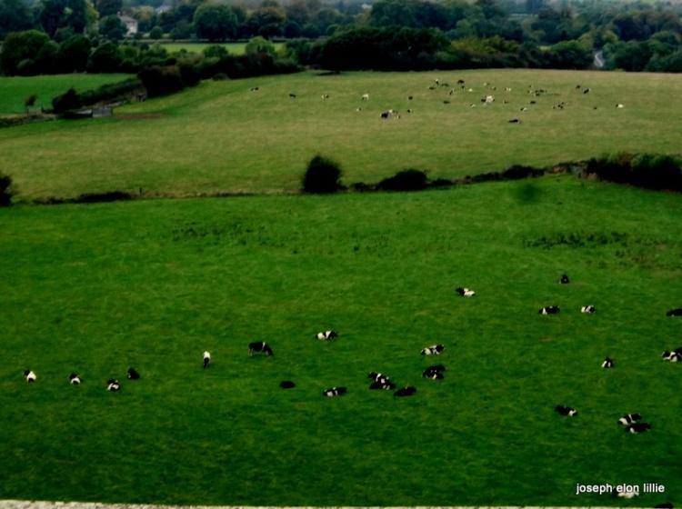 Fields of cows in Cashel