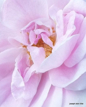 The gentle scent of the French Rose.