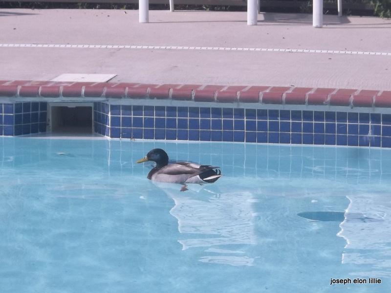 Duck Enjoying a Swim In AaPool