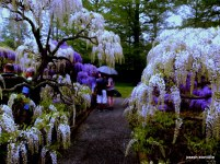 This wisteria makes an elegant frame on a rainy day.